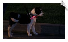 Safety Glo Collar